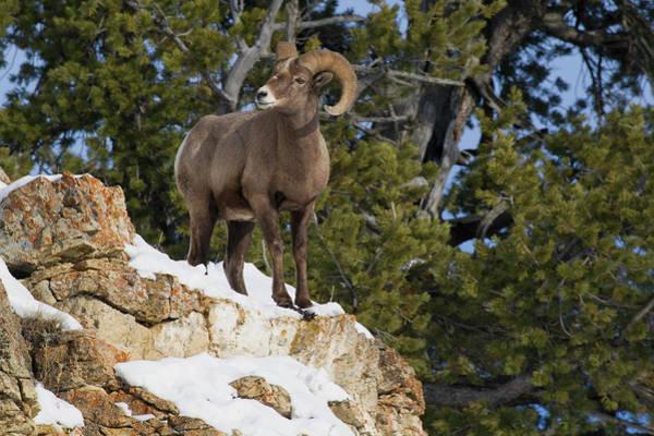 Archer Photograph - Rocky Mountain Bighorn Sheep Ram by Ken Archer