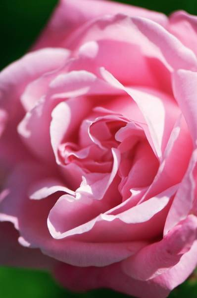 Hybrid Rose Photograph - Rose (rosa Hybrid) by Maria Mosolova