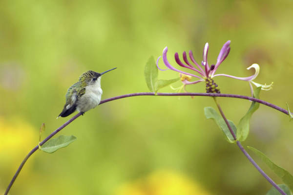 Lonicera Photograph - Ruby-throated Hummingbird by Maria Mosolova/science Photo Library