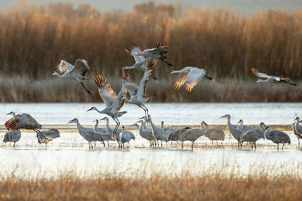 Freshwater Photograph - Sandhill Cranes Flying, Grus by Maresa Pryor