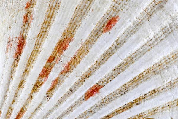 Photograph - Seashell Surface by Elena Elisseeva