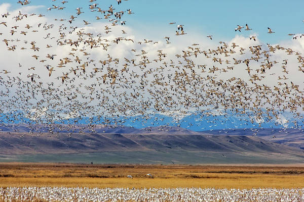 Migratory Birds Photograph - Snow Geese During Spring Migration by Chuck Haney