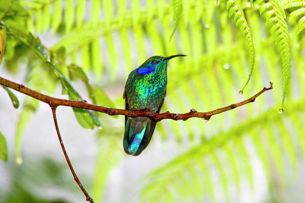 Colibri Photograph - South America, Costa Rica, San Gerardo by Jaynes Gallery