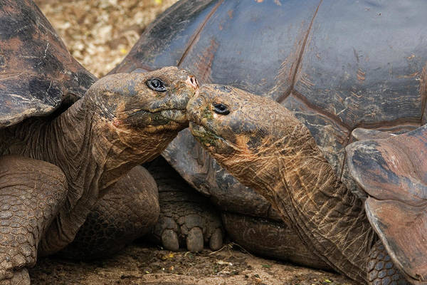 Tortoise Shell Photograph - South America, Ecuador, Galapagos by Jaynes Gallery