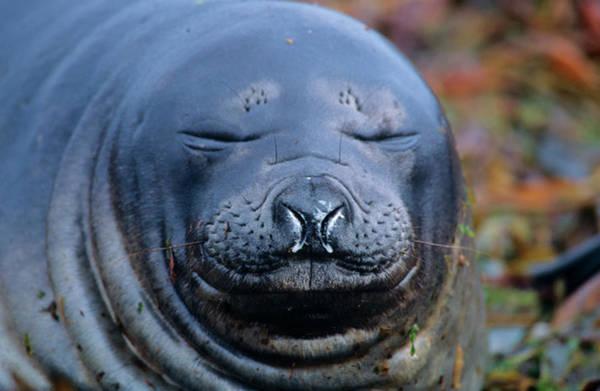 Molting Wall Art - Photograph - Southern Elephant Seal (mirounga Leonina by Martin Zwick