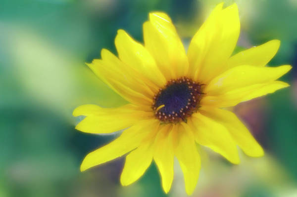 Wall Art - Photograph - Sunflower (helianthus Annuus) by Maria Mosolova/science Photo Library