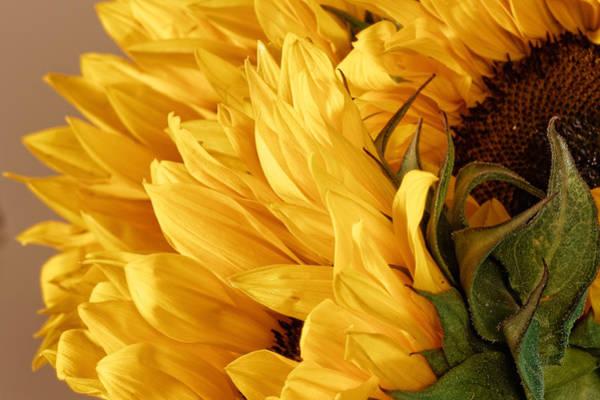 Photograph - Sunflower by Peter Lakomy