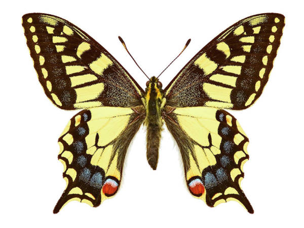 Wall Art - Photograph - Swallowtail Butterfly by Natural History Museum, London/science Photo Library