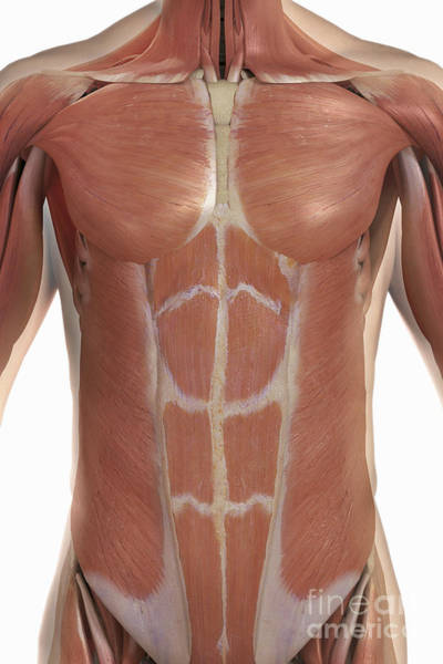 External Abdominal Oblique Photograph - The Muscles Of The Upper Body by Science Picture Co