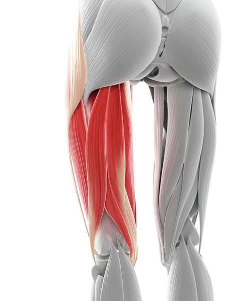 Wall Art - Photograph - Thigh Muscles by Sciepro/science Photo Library