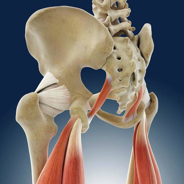 Wall Art - Photograph - Thigh Muscles by Springer Medizin/science Photo Library
