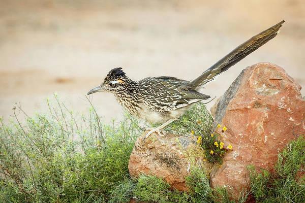 Geococcyx Photograph - Usa, Arizona, Santa Rita Mountains by Jaynes Gallery