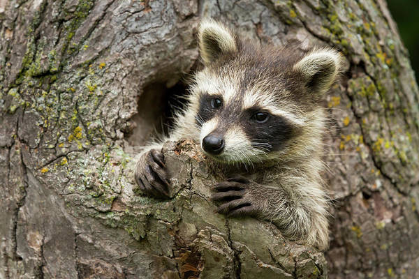 Raccoon Photograph - Usa, Minnesota, Sandstone, Minnesota by Jaynes Gallery