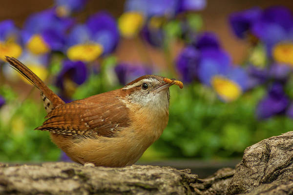 Wren Photograph - Usa, North Carolina, Guilford County by Jaynes Gallery