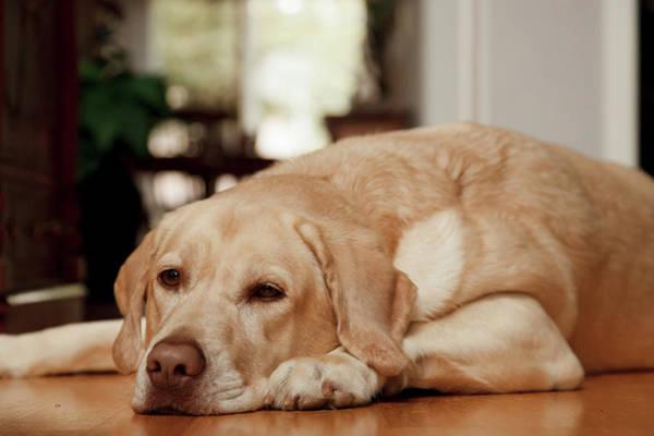 Labrador Retriever Photograph - Usa, Oregon, Keizer, Labrador Retriever by Rick A Brown