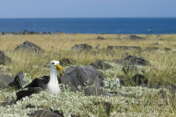 Waved Albatross Wall Art - Photograph - Waved Albatross by William H. Mullins