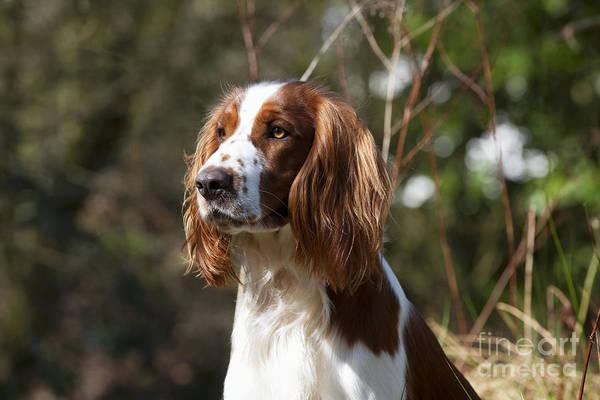 Springer Spaniel Photograph - Welsh Springer Spaniel by John Daniels