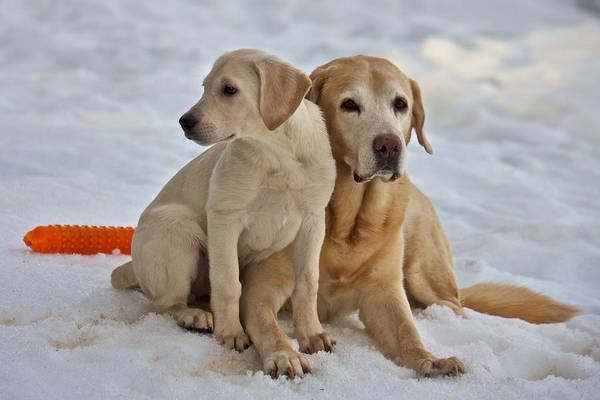 Photograph - Yellow Labradors by Steven Lapkin