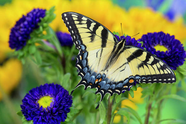 Aster Photograph - Eastern Tiger Swallowtail Butterfly by Darrell Gulin