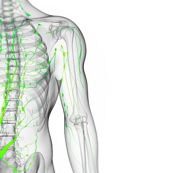 Wall Art - Photograph - Lymphatic System by Sciepro/science Photo Library