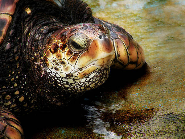 Photograph - Mighty Honu by Micki Findlay