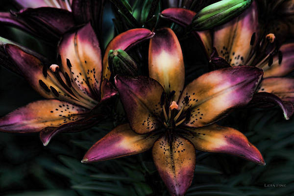 Photograph - 5047 Lily - Midnight Lily Art by Lesa Fine