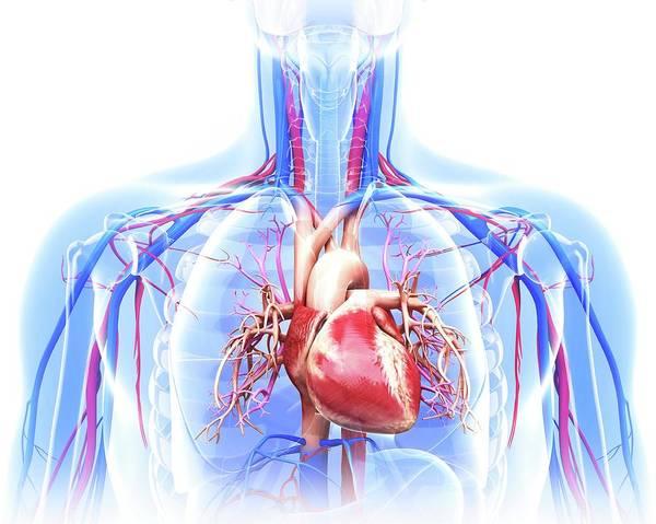 Wall Art - Photograph - Human Cardiovascular System by Pixologicstudio