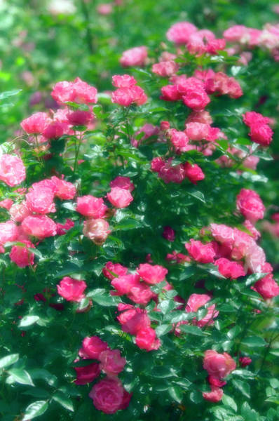Wall Art - Photograph - Rose (rosa Sp.) by Maria Mosolova/science Photo Library