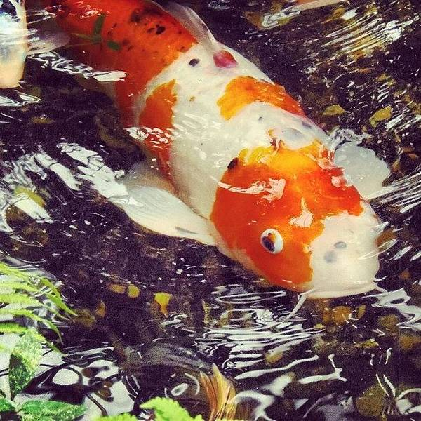 Japanese Koi Photograph - Instagram Photo by Vicky Combs