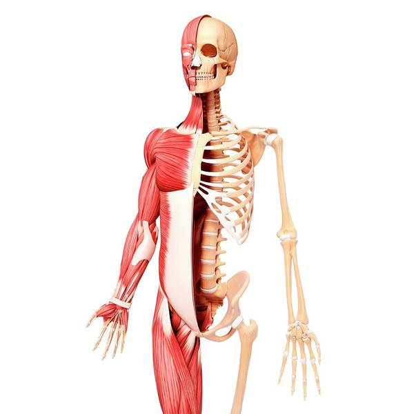 Wall Art - Photograph - Human Musculature by Pixologicstudio/science Photo Library