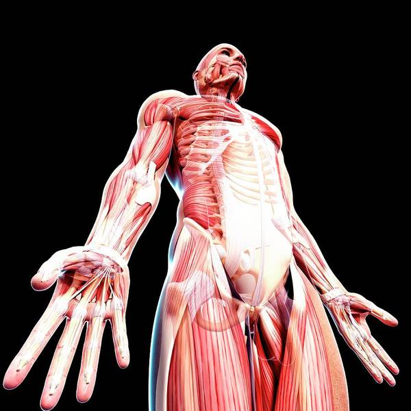 Wall Art - Photograph - Male Musculature by Pixologicstudio/science Photo Library