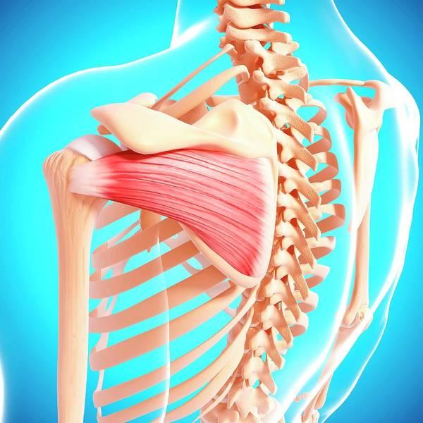 Wall Art - Photograph - Human Shoulder Musculature by Pixologicstudio/science Photo Library