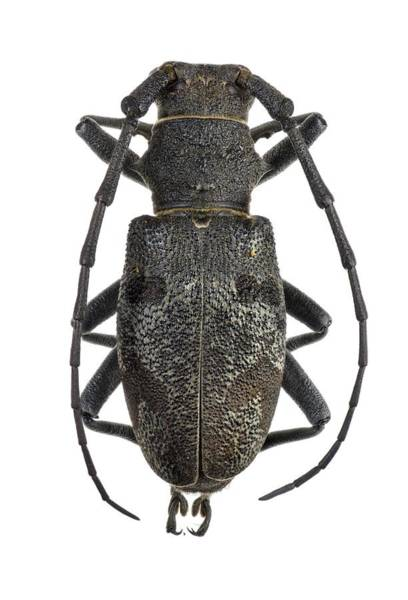 Asps Photograph - Longhorn Beetle by F. Martinez Clavel
