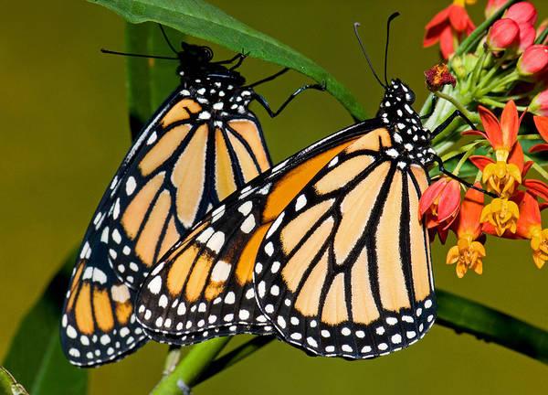 Wall Art - Photograph - Monarch Butterfly by Millard H. Sharp