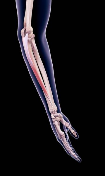 Wall Art - Photograph - Arm Muscle by Sebastian Kaulitzki/science Photo Library