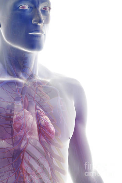 Superior Vena Cava Photograph - The Cardiovascular System by Science Picture Co