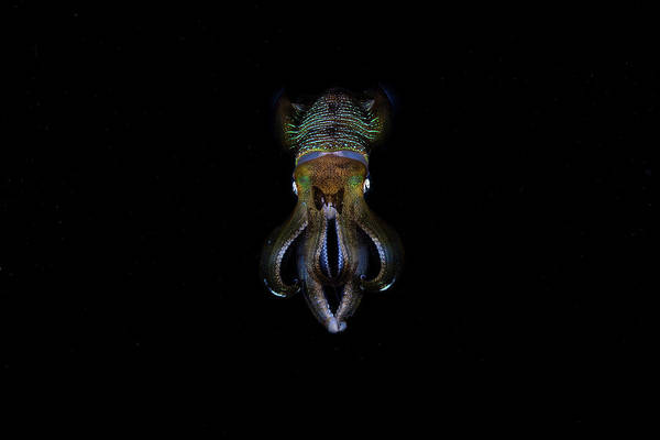 Bigfin Reef Squid Photograph - A Bigfin Reef Squid Off The Coast by Ethan Daniels