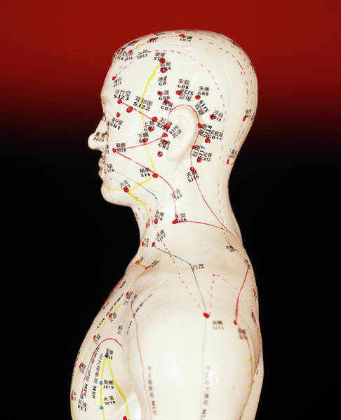 Wall Art - Photograph - Acupuncture Model by Mark Thomas/science Photo Library