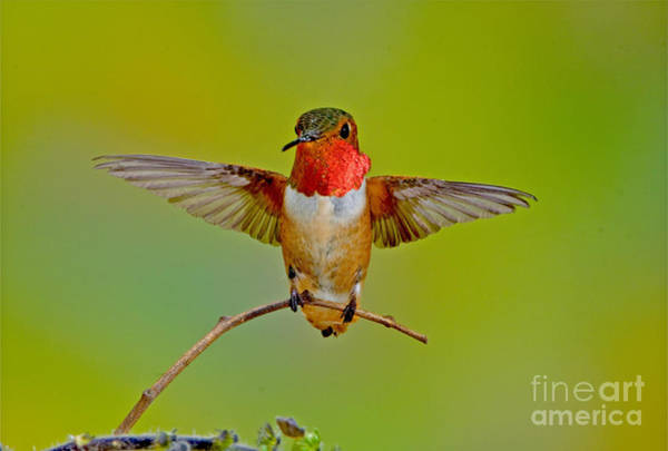 Selasphorus Photograph - Allens Hummingbird by Anthony Mercieca