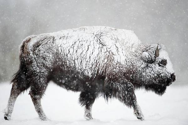 North American Wildlife Photograph - American Bison by Dr P. Marazzi/science Photo Library
