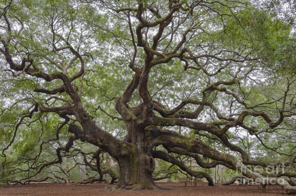 Photograph - Sc Angel Oak Tree by Dale Powell