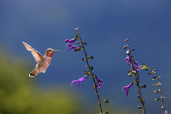 Wall Art - Photograph - Anna's Hummingbird by Tom Norring