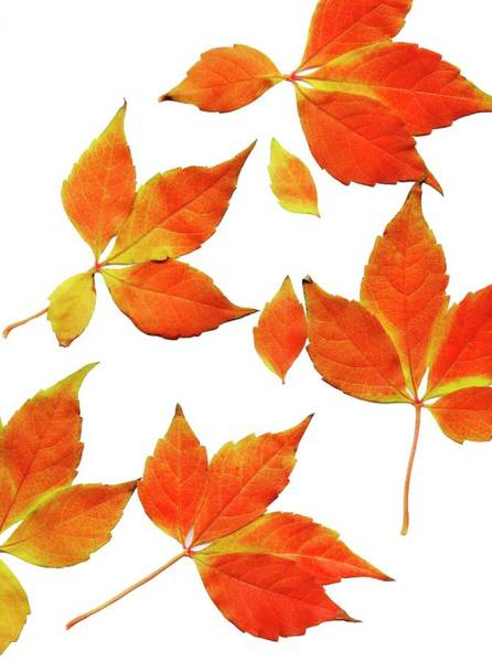 Leaf Venation Wall Art - Photograph - Autumn Leaves by Ian Hooton/science Photo Library