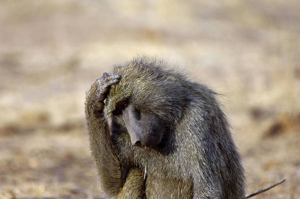 Wall Art - Photograph - Baboon by Dr P. Marazzi/science Photo Library