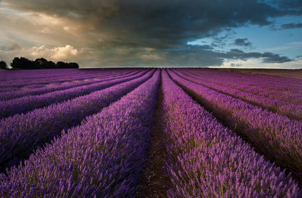 Mauve Photograph - Beautiful Lavender Field Landscape With Dramatic Sky by Matthew Gibson