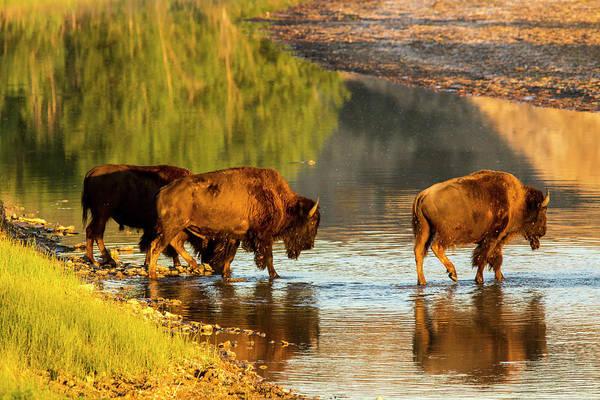 North Dakota Badlands Wall Art - Photograph - Bison Crossing The Little Missouri by Chuck Haney