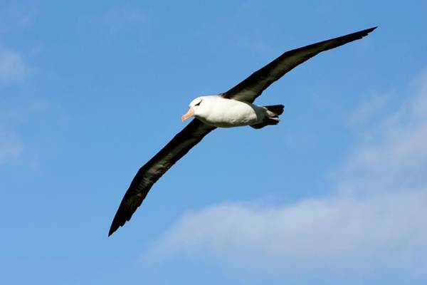 Wall Art - Photograph - Black-browed Albatross by William Ervin/science Photo Library