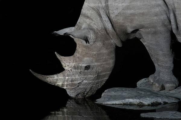 Wall Art - Photograph - Black Rhinoceros At Night by Tony Camacho/science Photo Library
