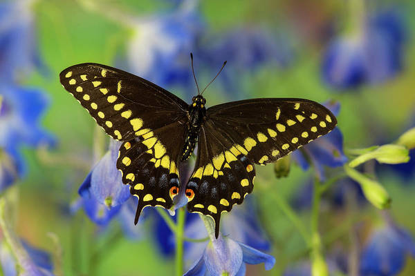 Black Swallowtail Butterfly, Papilio Art Print by Darrell Gulin