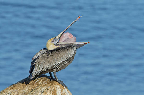 Gular Photograph - Brown Pelican by Anthony Mercieca
